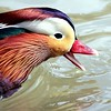 Mandarin Duck ~ Aix galericulata<br /> Super Cropped but cool