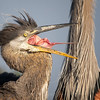 Young Great Blue Heron Sticking Tongue Out