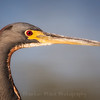 Juvenile Tricolored Heron Profile