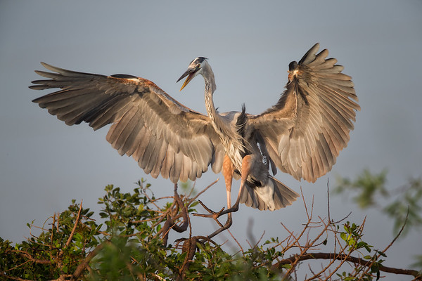 Great Blue Heron landing at Venice Rookery