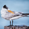 Royal Tern Preening