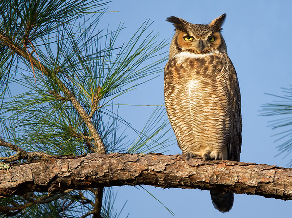 Great Horned Owl in Full Sun