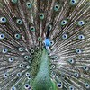 Indian blue peacock ~ Pavo cristatus