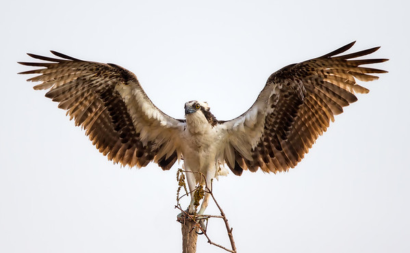 Osprey landing on tree top with wings spread wide.