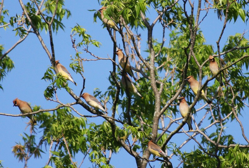 Flock of Cedar Waxwings in Pecan Tree