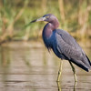 Little Blue Heron - Adult
