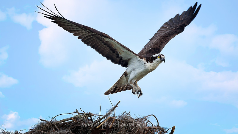 Osprey Leaving Nest at Lake Istokpoga