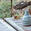 Sharp Shinned Hawk on Milton 010316-3653