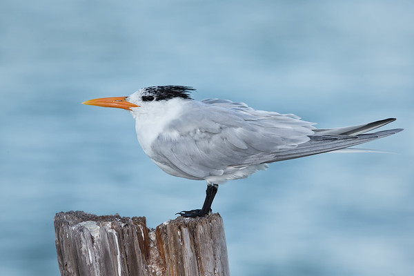 Royal Tern facing into the wind