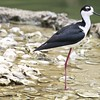Black-necked stilt ~ Himantopus mexicanus