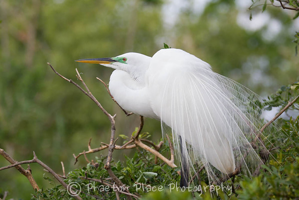 Great Egret (Unedited)