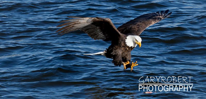 Eagle-6391