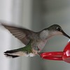 Female Hummingbird at the feeder