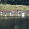 flock of White Egrets