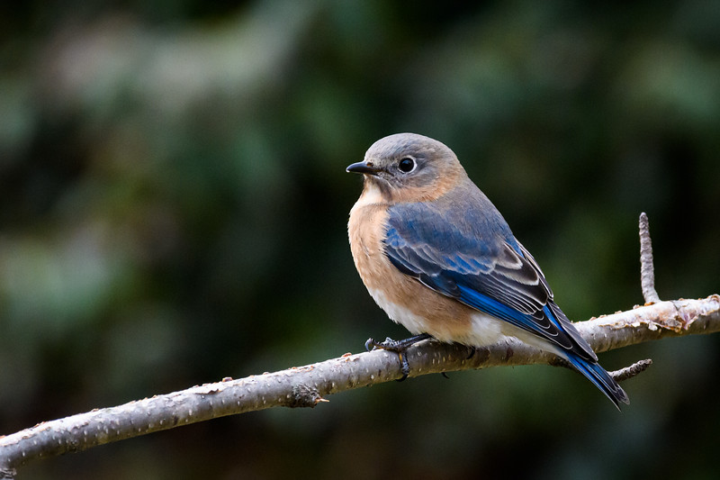 American Bluebird