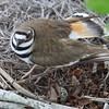Killdeer Bird on Nest