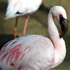 Lesser Flamingo ~ Phoenicopterus minor