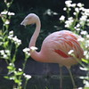 Flamingo at Ashboro Zoo