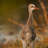 Young and Curious Sandhill Crane