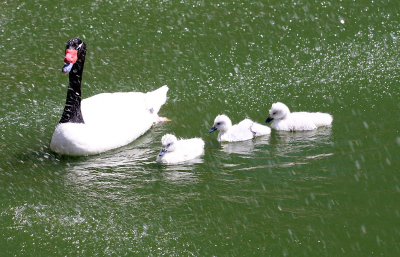 Black-Necked Swan and babies