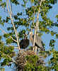 Great Bue Herons with young in cottonwood tree near the Weiser River, Idaho