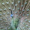 Indian blue peacock ~ Pavo cristatus     Peacock Showing Off
