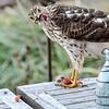 Sharp Shinned Hawk on Milton 010316-3657