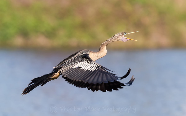 Calling Anhinga in flight