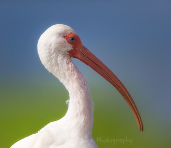 White Ibis Profile