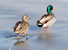 Mallards - Niles Pond