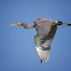 Juvenile Tricolored Heron in Flight
