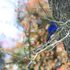 Bluebird on Pecan Tree