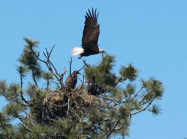 Bald Eagle with 2 juveniles