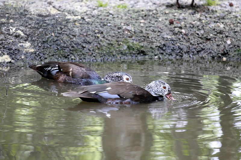 White-Winged Wood Duck ~ Cairina scutulata  very rare