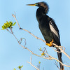 Male Anhinga Perched - Breeding Colors