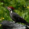 Pileated Woodpecker near McCall, Idaho