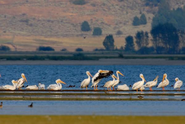 American white Pelican, Lake Cascade, Idaho
