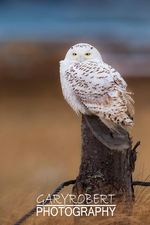 Snowy Owl - 0219