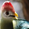 Red-crested Turaco ~ Tauraco erythrolophus
