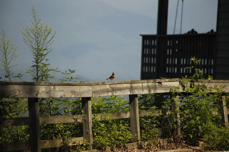 female cardinal on the fence