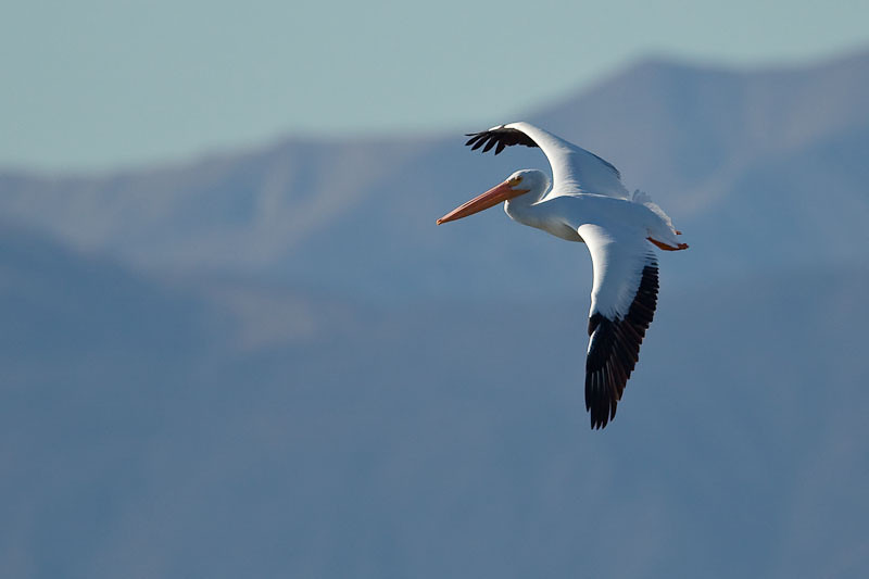 White Pelican in flight<br /> 20100113-IMG_2185