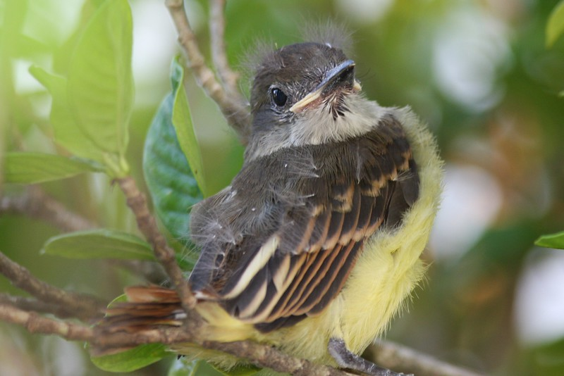 Great Crested Flycatcher babe