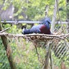 Blue-crowned pigeon ~ Goura cristata         On the threatened species list