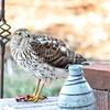 Sharp Shinned Hawk on Milton 010316-3671