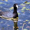 Coot on the Water