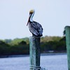 Pelican on Dock Post