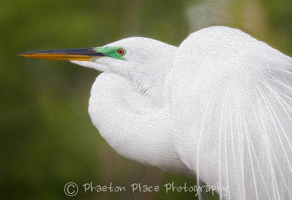Great Egret Oil