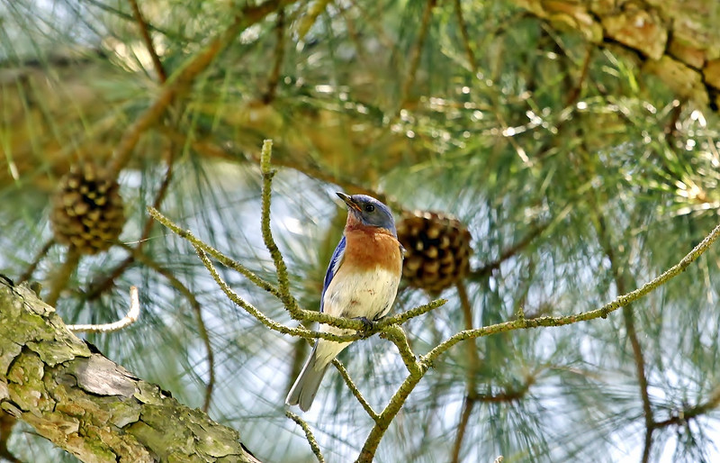 Blue bird in the pine with a little berry juice on his breast.