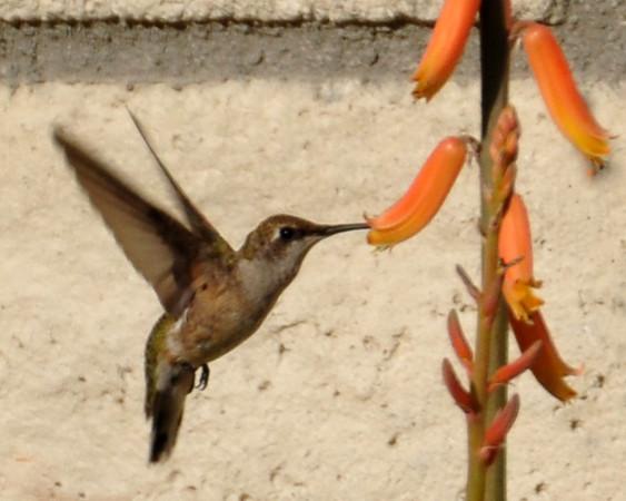 Backyard Humming Bird 1