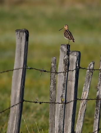 Wilson's Snipe on Fence